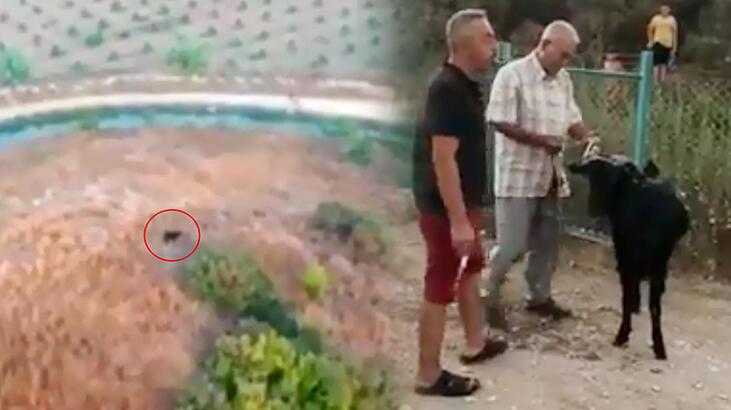 Antalya'da kayıp kurbanlık keçi dronela bulundu