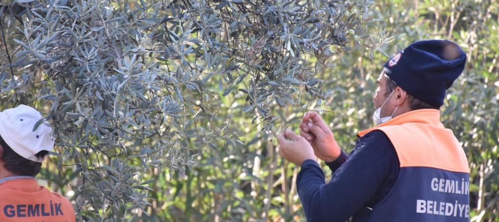 Parklarda zeytin seferberliği